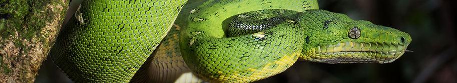 Emerald%20Tree%20Boa%20(Corallus%20canin