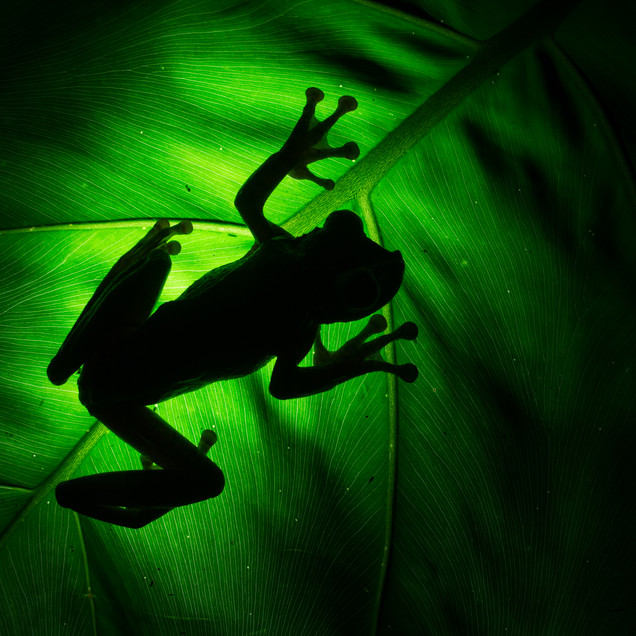 Shadows of the Gladiator Tree Frog (Hypsiboas rosenbergi)