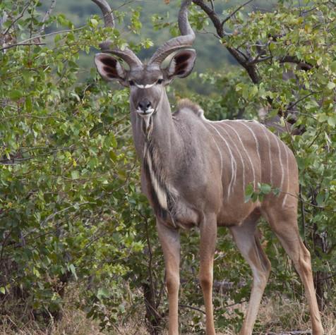 Male Kudu (Tragelaphus strepsiceros)