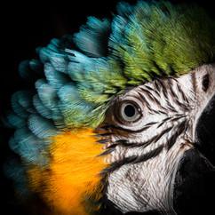 Blue-and-yellow Macaw, Tampopata, Peruvian Amazon Rainforest