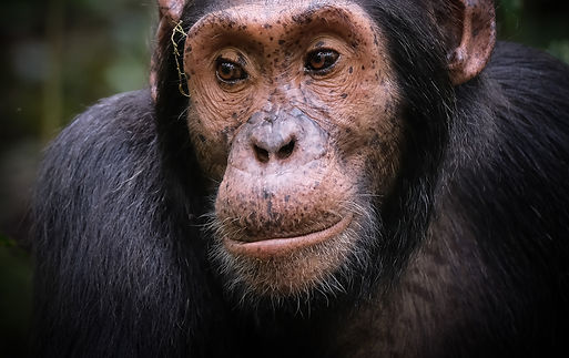 Wild%20Chimpanzee%2C%20Kibale%20National
