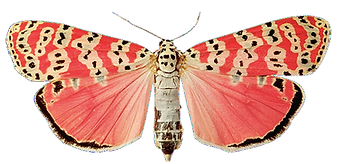 butterfly red_edited.png