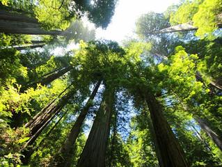 Phénoménal sequoia