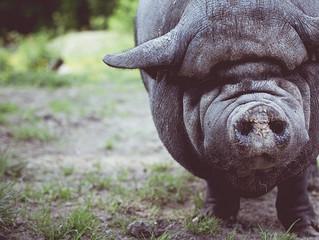 Gemmo spirituelle: le gui et le cochon