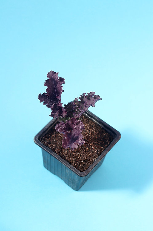 Chou Kale Violet