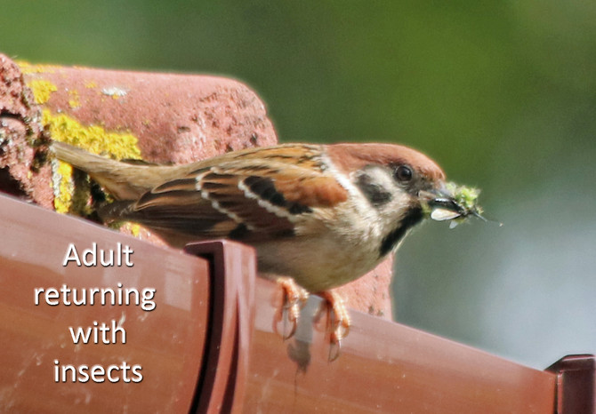 Helping Tree Sparrow recovery