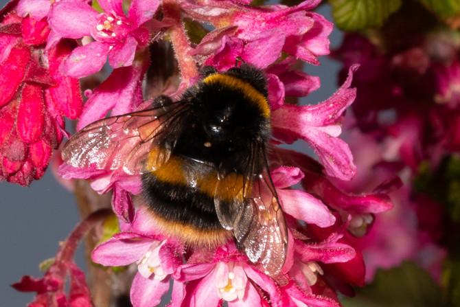 Emerging Bumblebees