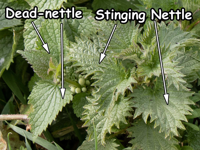 Nettles don't all sting