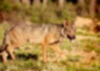 Lobo 2.jpg