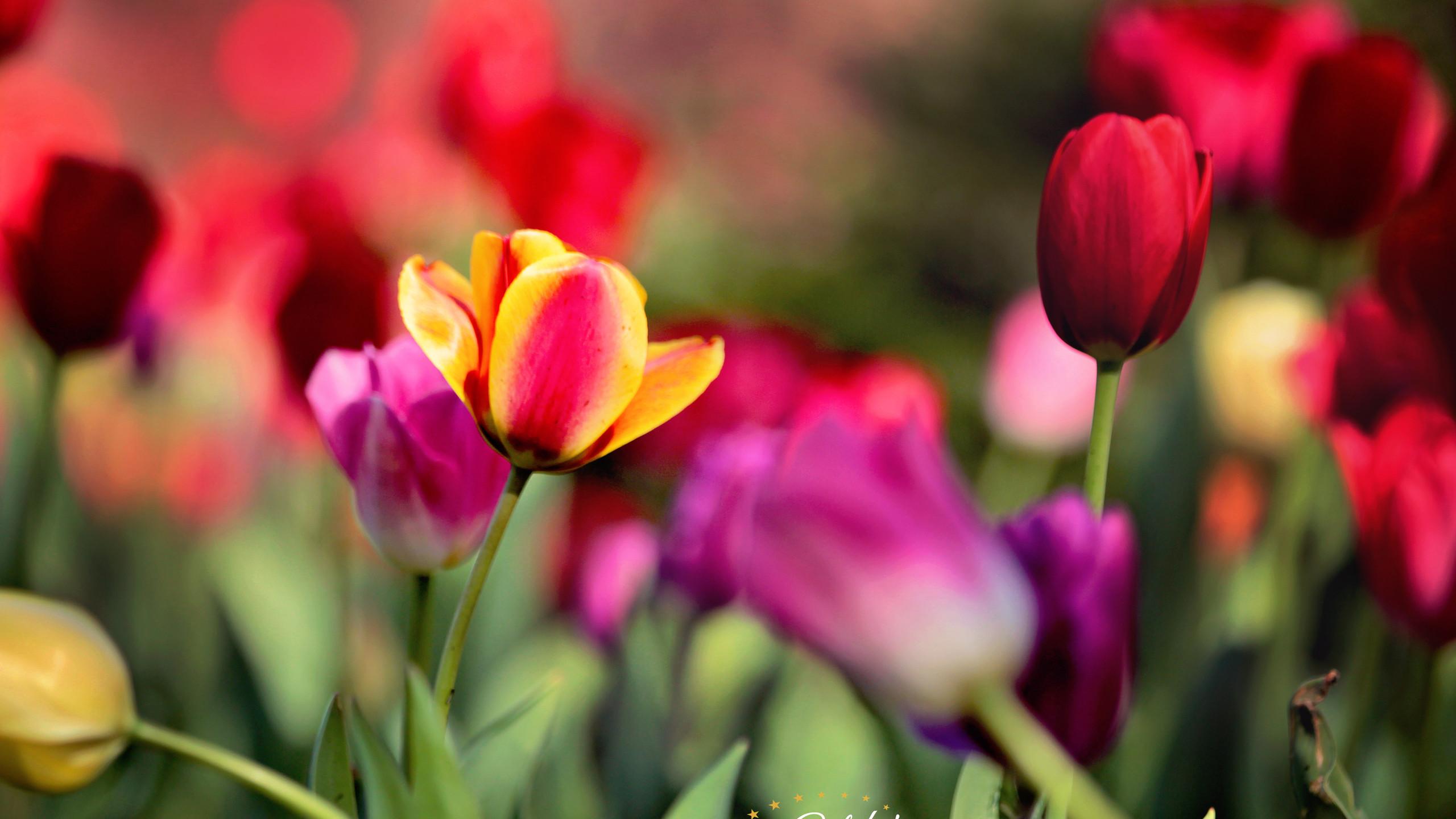 tulipswm4