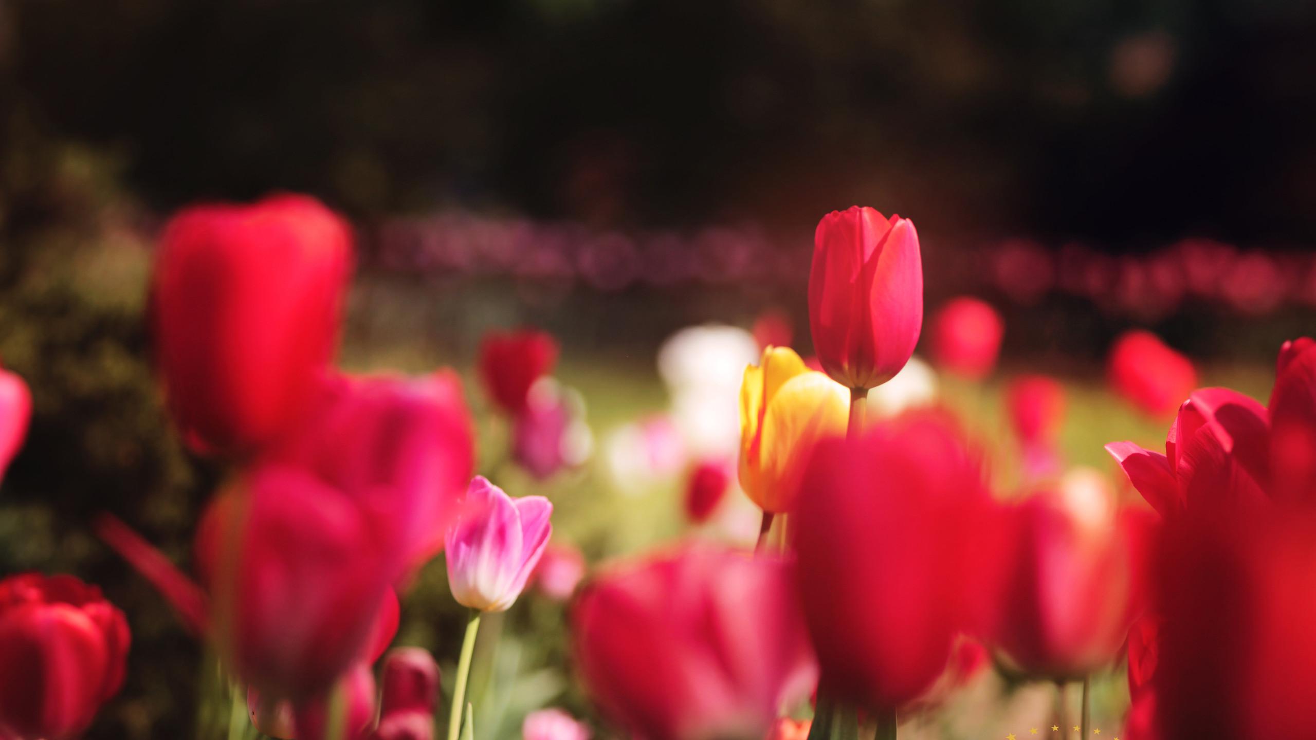 tulipawm