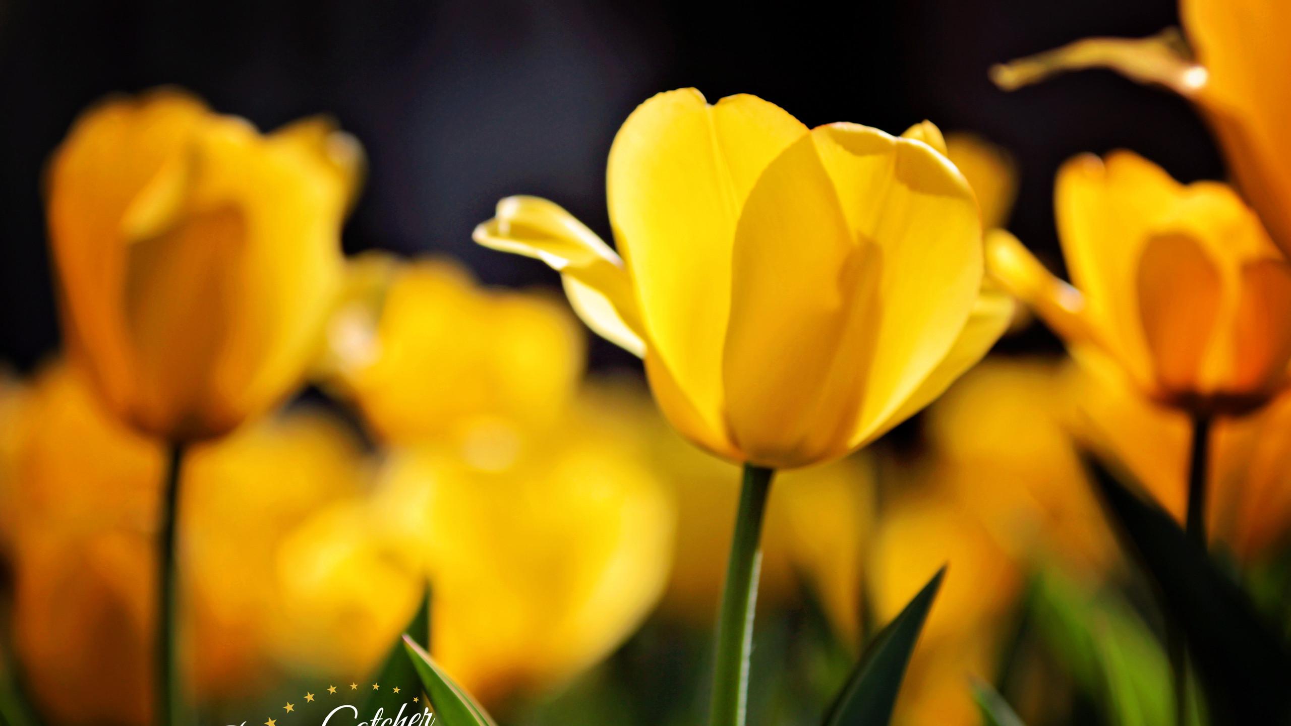 tulipswm7