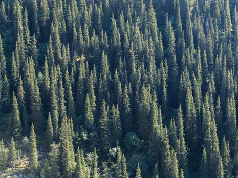 Tien-Shan spruce, Kyrgyzstan