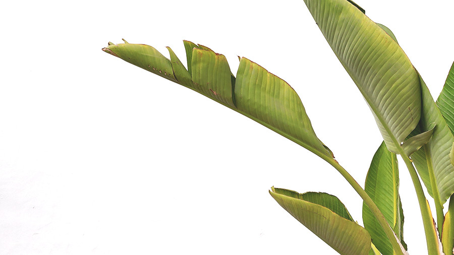 Banana tree leaves at Casa Mae in Lagos, Algarve