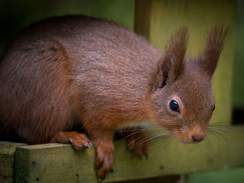 Red Squirrels in Galloway. Just sorting through some files and came across these two little beauties. Taken in April in the Galloway forest.