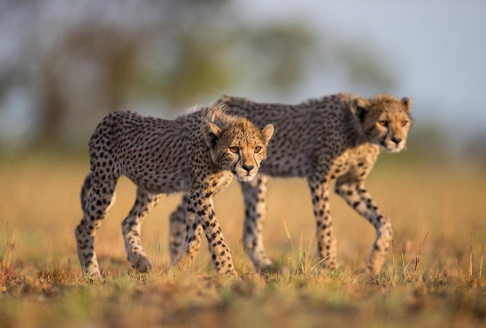 cheetah-23(2).jpg