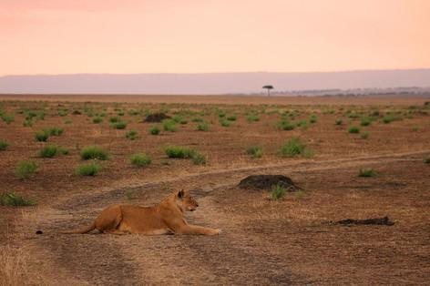 lioness sunset.jpg