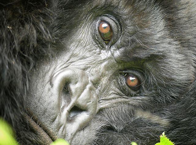 #gorillalove #intothewildsafaris #snsfel