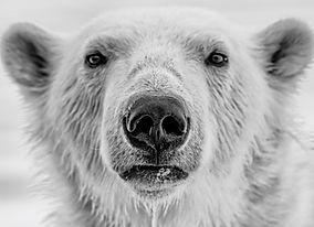 NWS Svalbard Polar Bear Explorer - Into