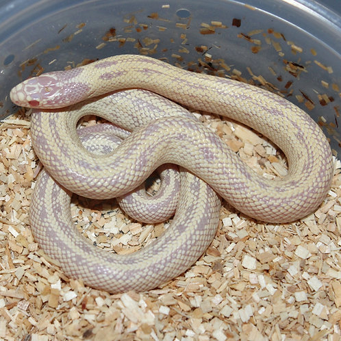 Cal King Albino/Ghost