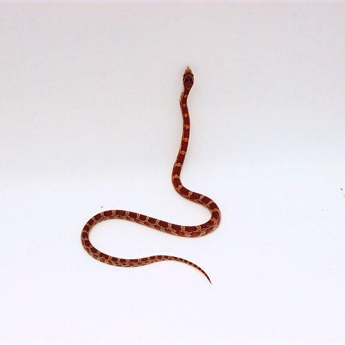 Het Palmetto Anery Blood Nod Strawberry Cornsnake