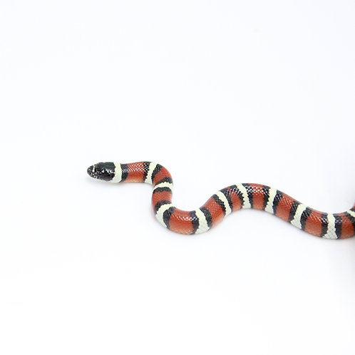 Arizona Milk Snake
