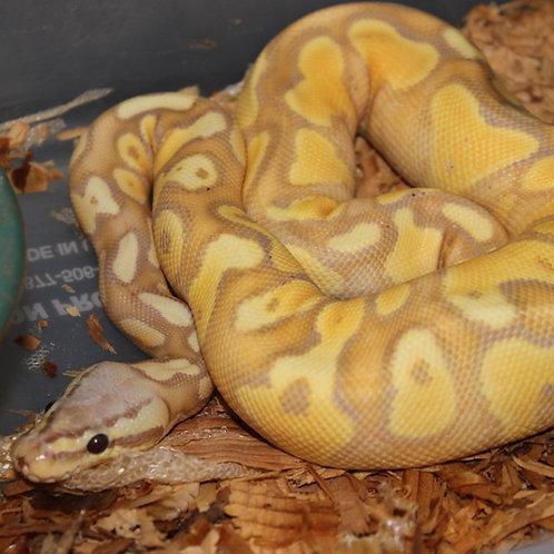 Yellow Belly Banana