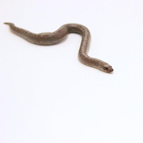 Anery Stripe Sand Boa
