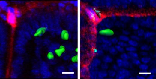 gamma delta IELs migrating in response to Salmonella