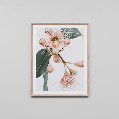 Eucalyptus Flower 1