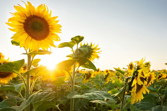 sunflower-field-080117.jpg