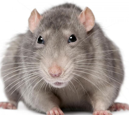 closeup-of-rat_edited.jpg