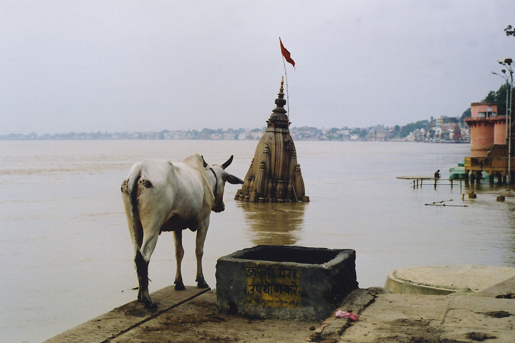 India-Varanasi-Cow in front of Gange river-0&.jpg