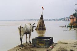 India-Varanasi-Cow in front of Gange river-0&.jpg