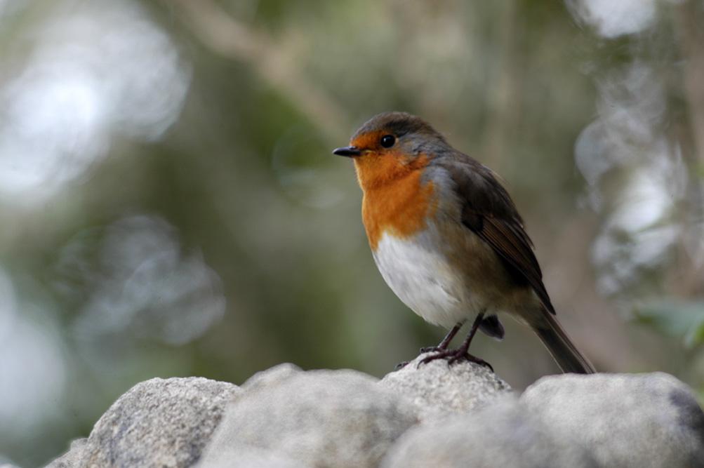 ©Antoine_Roulet-Ireland-188-red_bird