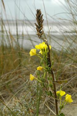 20-Bercq-sur-mer-456-fleur jaune.jpg