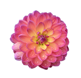dahlia-flower-isolated_edited.png