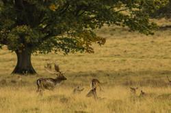 Fallow deer at Petworth Park