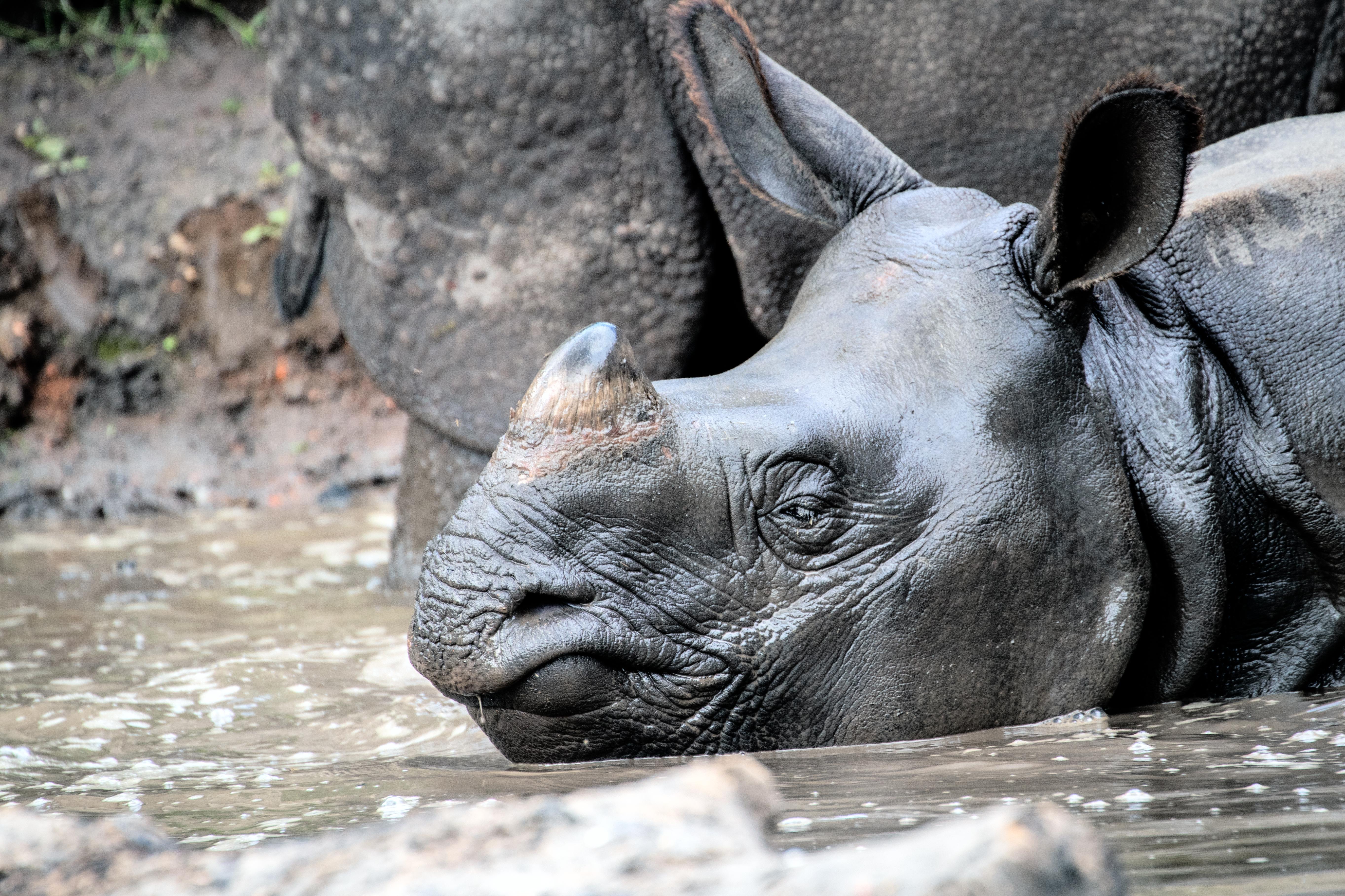 Greater One Horned Rhinoceros 1