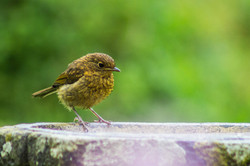 Robin,juvenile