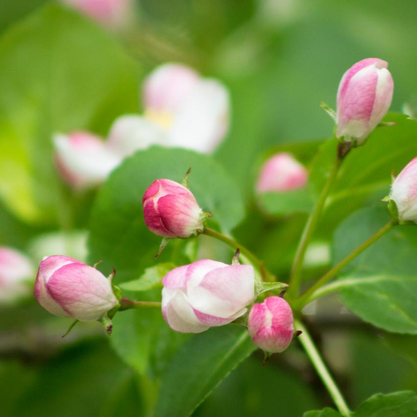 apple blossom bud 1