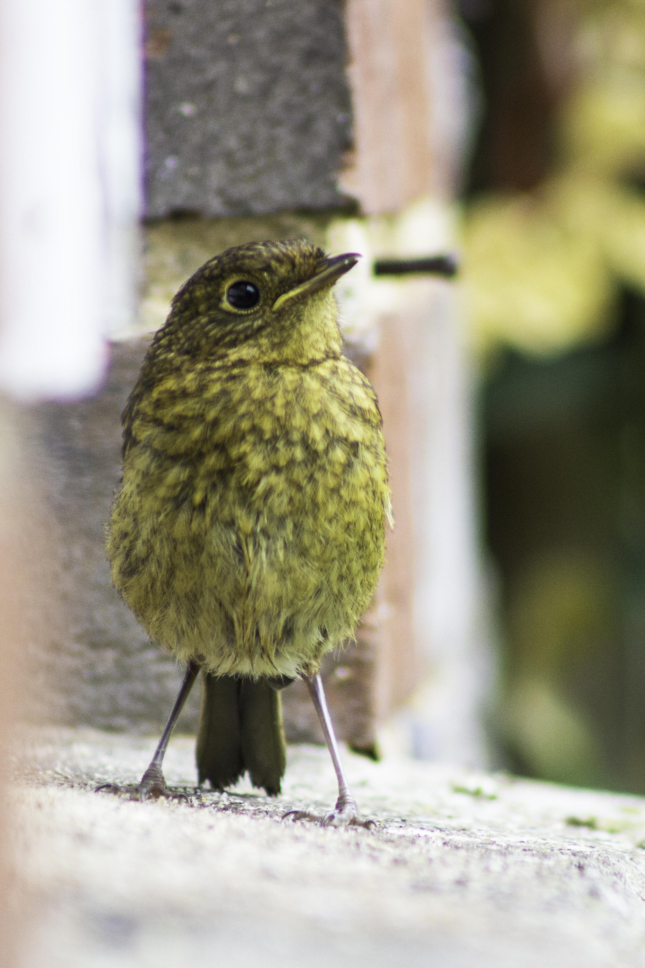 Robin, juvenile