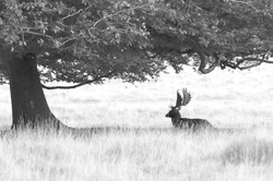 Stag under a tree