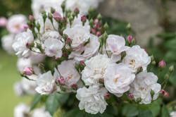 Roses -6