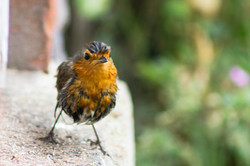 Dishevelled robin