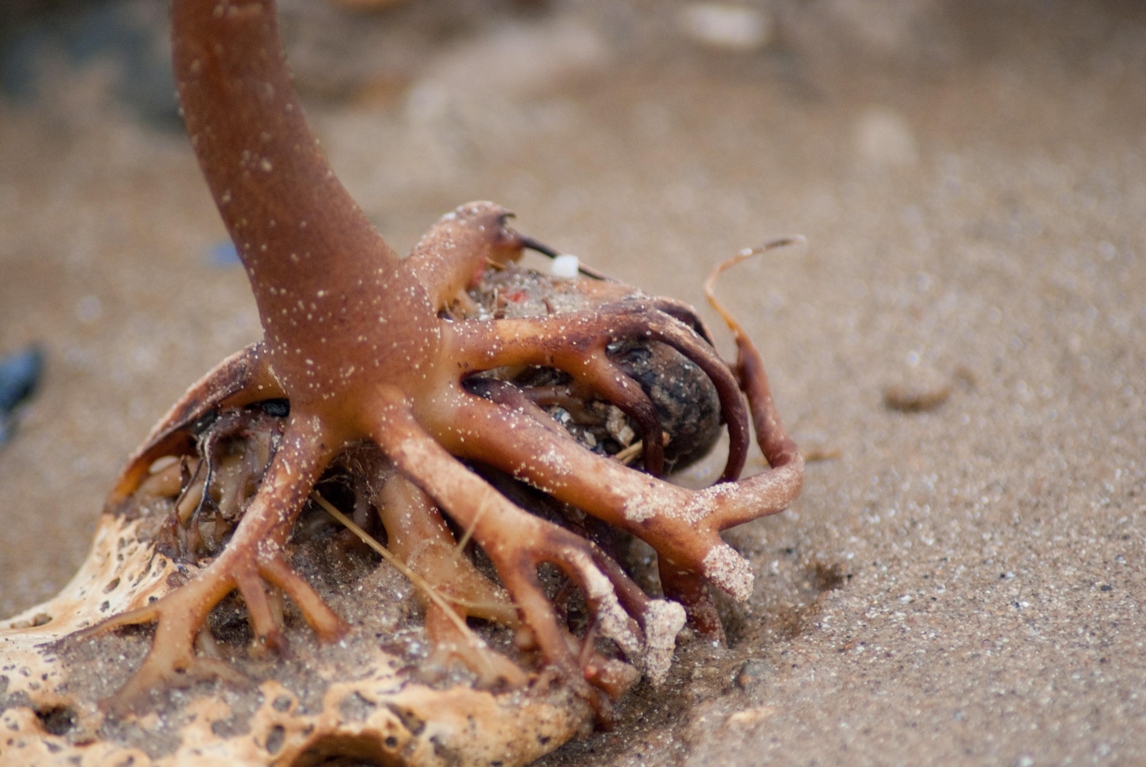 beach root