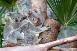 Koala bear 2