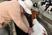 Campanha antecipada de vacinação contra aftosa entra na última semana no Estado