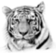 realistische Zeichnung eines Tigers