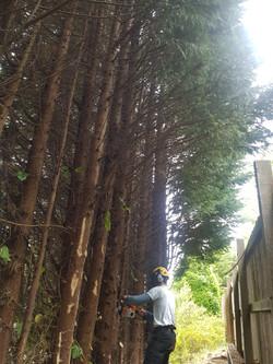 Invasive tree felling